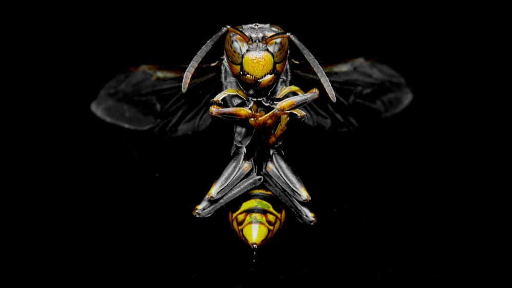 A hornet on black background